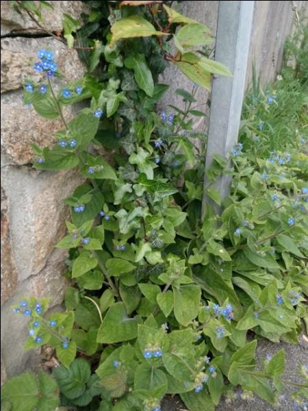 C'est une plante de la famille des boraginacées.
