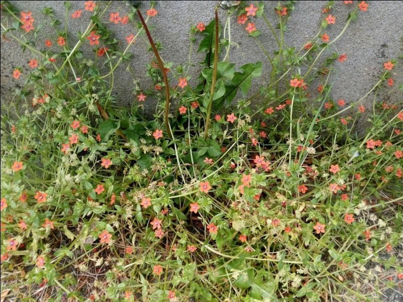 C'est une plante de la famille des primulacées.