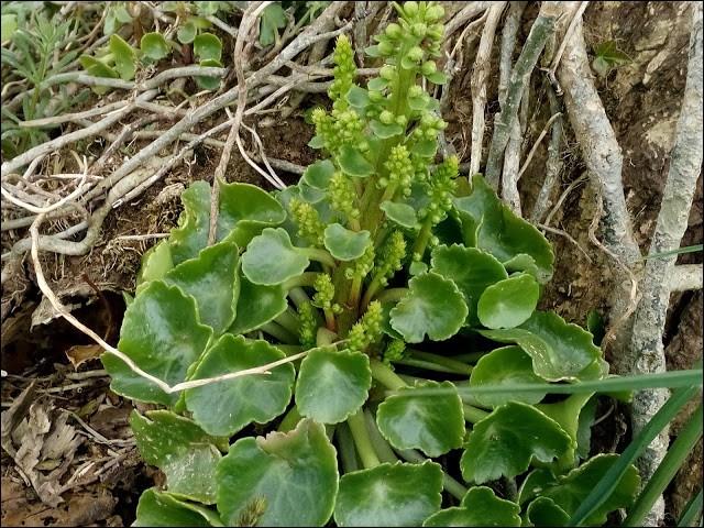 C'est une plante de la famille des crassulacées.
