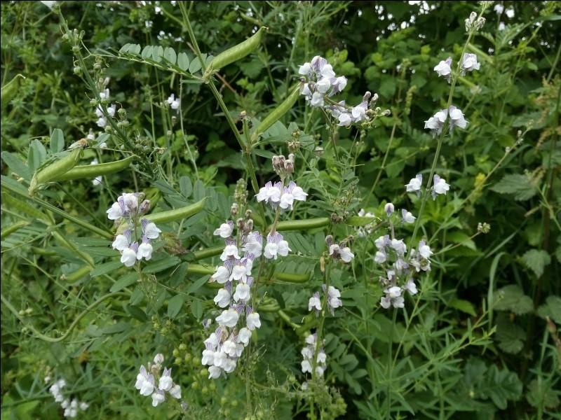 C'est une plante herbacée vivace de la famille des Scrophulariaceae, ou des Plantaginaceae selon la classification phylogénétique.