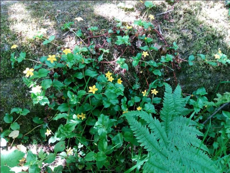 C'est une plante herbacée de la famille des Primulacées selon la classification classique et la classification phylogénétique APG III.