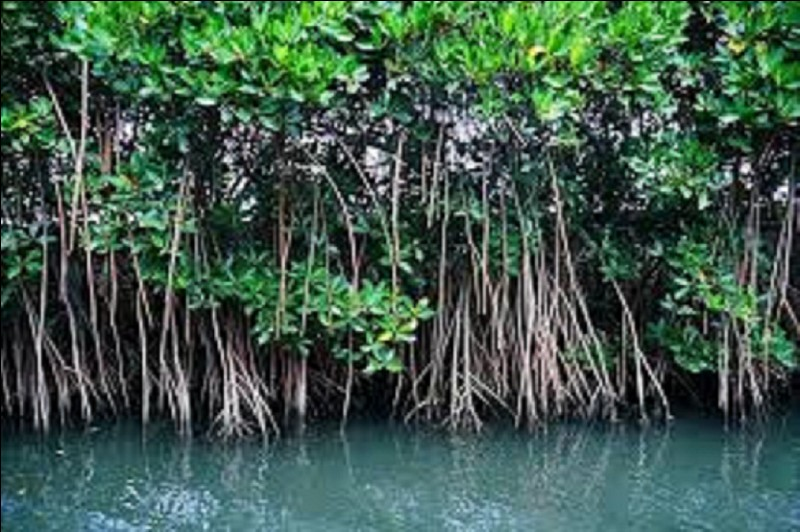 Quels arbres constituent principalement une mangrove ?