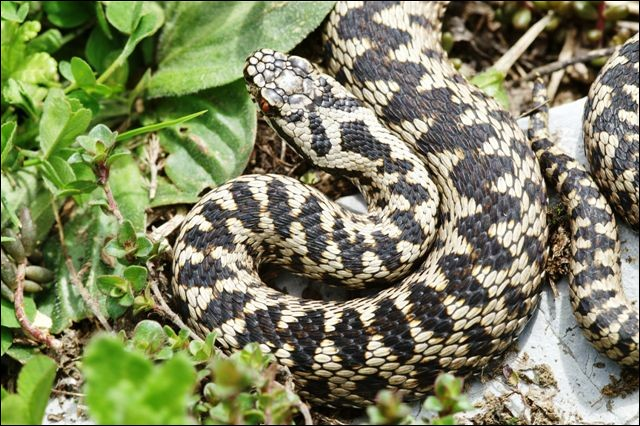 Le serpent en photo est...