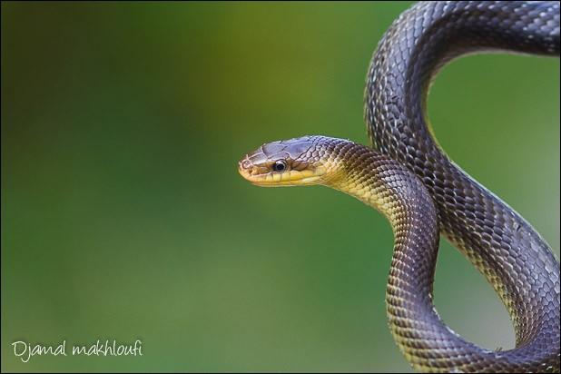 En France il n'existe qu'un serpent arboricole (vit dans les arbres).