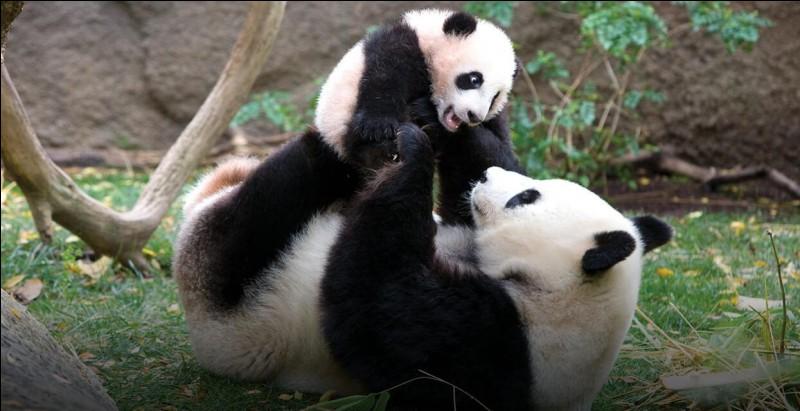 Les pandas mangent du bambou :