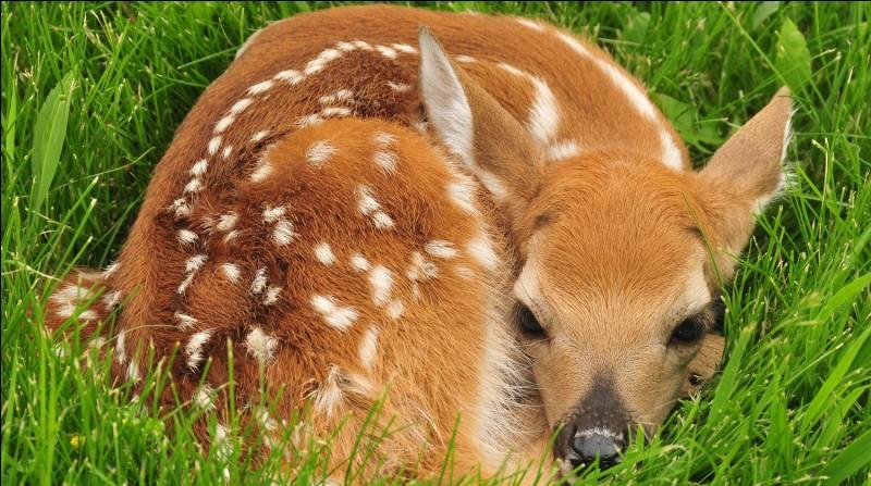 Comment s'appelle le petit du cerf ?