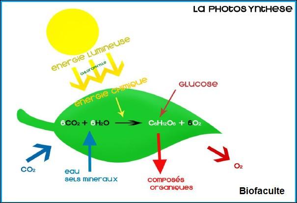 Que produit la photosynthèse ?
