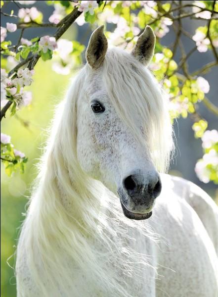 Comment s'appelle le cheval blanc de Monterey ?