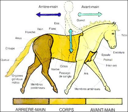 Quelles sont les parties du cheval (les trois principales) ?