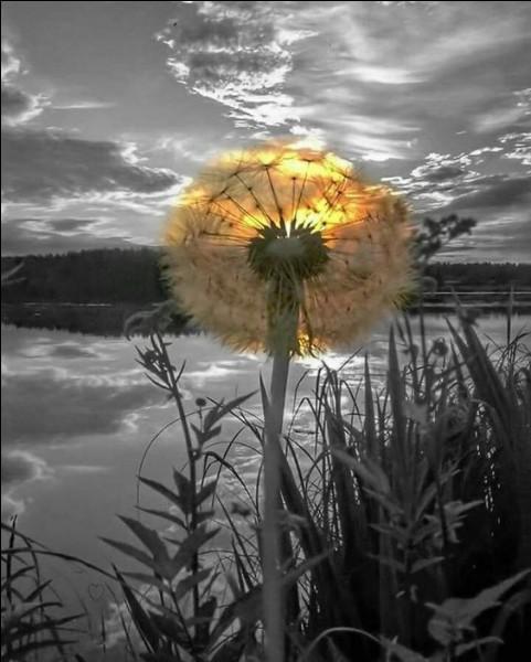 En photo, une jolie fleur de pissenlit ! Sur quoi souffle-t-on pour faire un vœu ?