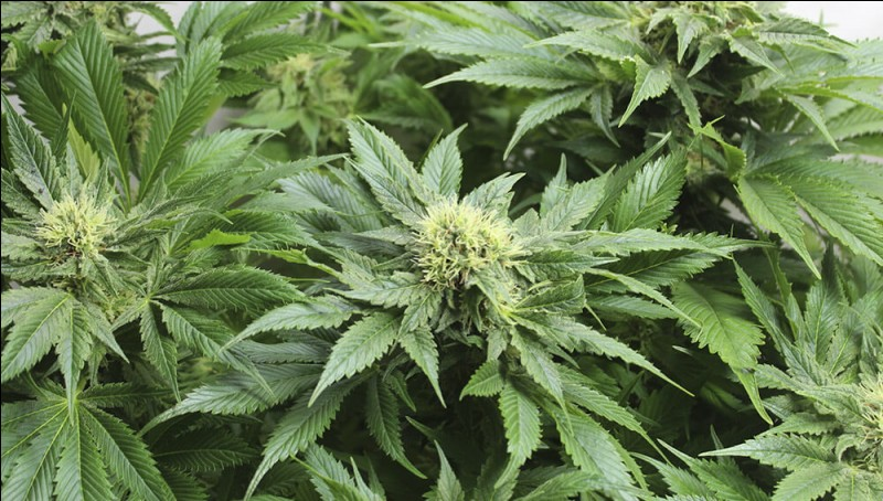 """La marijuana appelée également """"herbe"""" est tirée de quelle plante ?"""