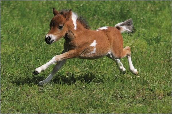 Est-ce possible qu'un cheval/poney s'accouple avec un zèbre?