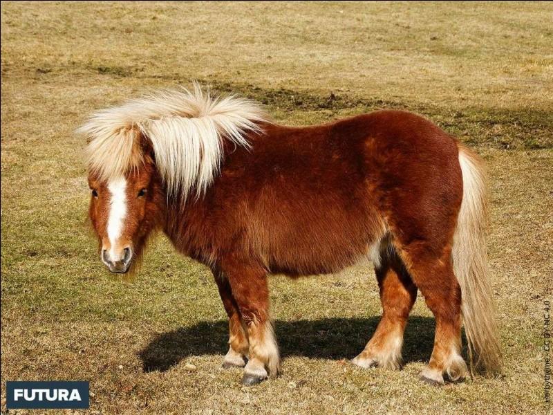 Un poney est :