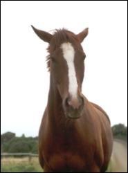 Quand ses oreilles sont tombantes et sur le côté le cheval est :