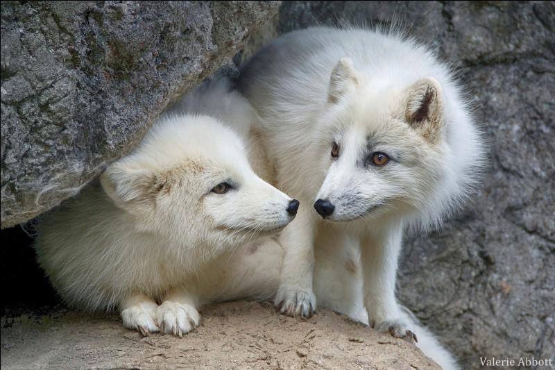 Les renards polaires ont coutume de se nourrir de rongeurs (lemmings), d'oiseaux, d'œufs, mais que font-ils quand la nourriture devient plus rare ?