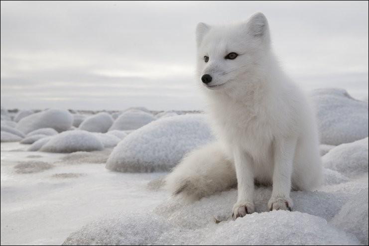 De quelle couleur est le renard polaire en été ?