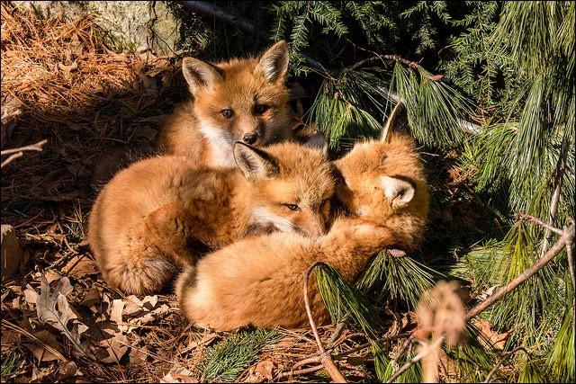 Les petits renardeaux naissent-ils, en général durant l'hiver ?