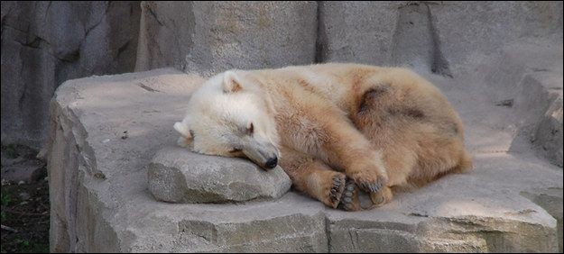 L'ourse polaire n'a pas été sage cet hiver, elle a fait des petits avec un grizzly ! En voici un : Comment nomme-t-on cet hybride ?