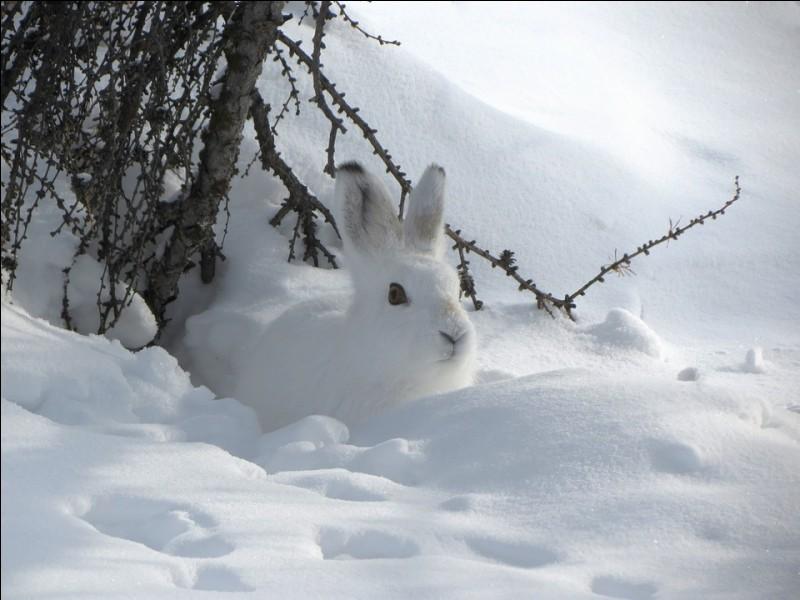 Lequel de ces lièvres prend un pelage blanc en hiver ?