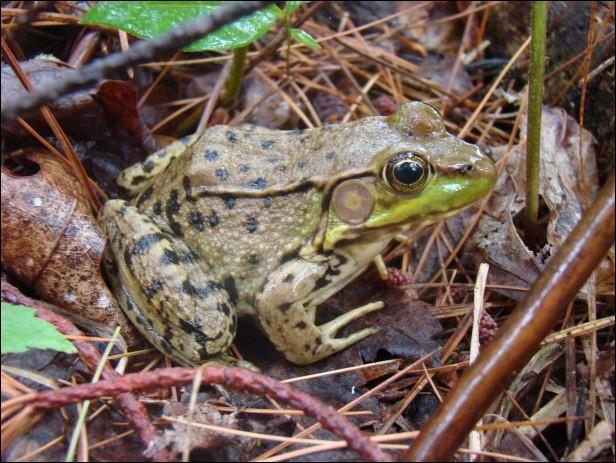 Quant à la grenouille, je vous le dis : elle hiberne. Mais où hiberne-t-elle ?