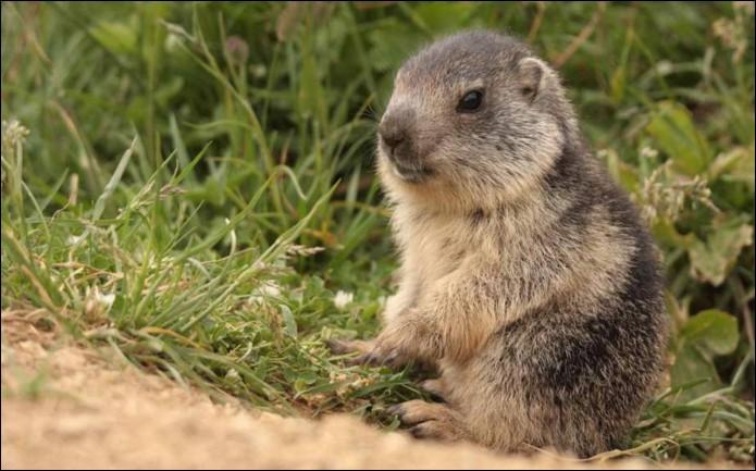 Et la marmotte ?