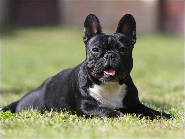 Quel est le nom de cette race de chien français ?