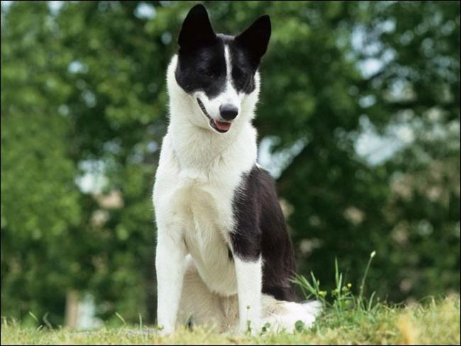 Quel est le nom de cette race de chien russe ?