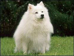 Quel est le nom de cette race de chien japonais ?