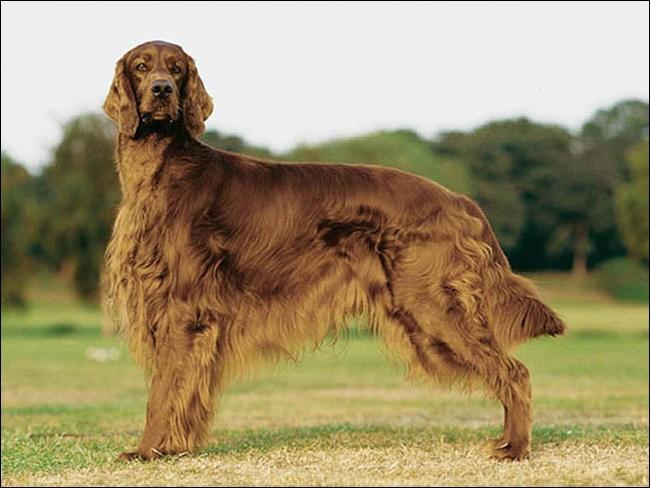 Quel est le nom de cette race de chien irlandais ?
