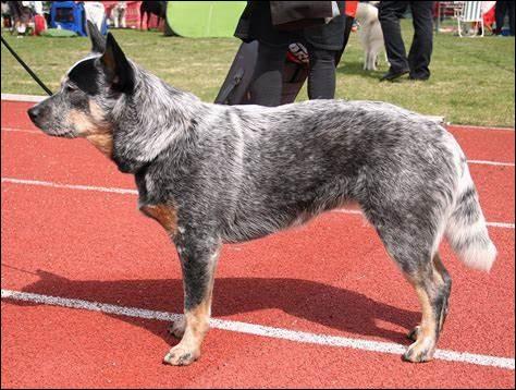 Quel est le nom de cette race de chien australien ?