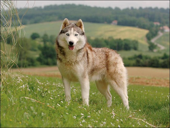 Quel est le nom de cette race de chien sibérien ?
