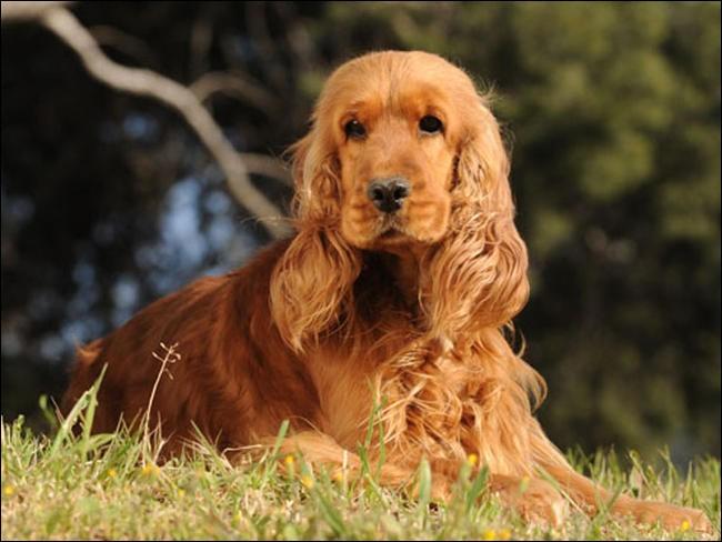 Quel est le nom de cette race de chien anglais ?
