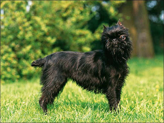 Quel est le nom de cette race de chien belge ?