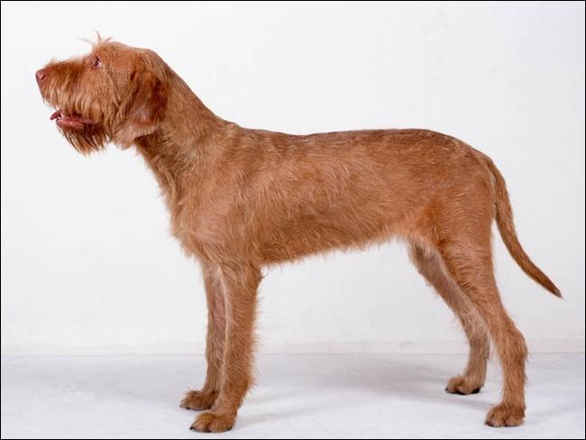 Quel est le nom de cette race de chien hongrois ?