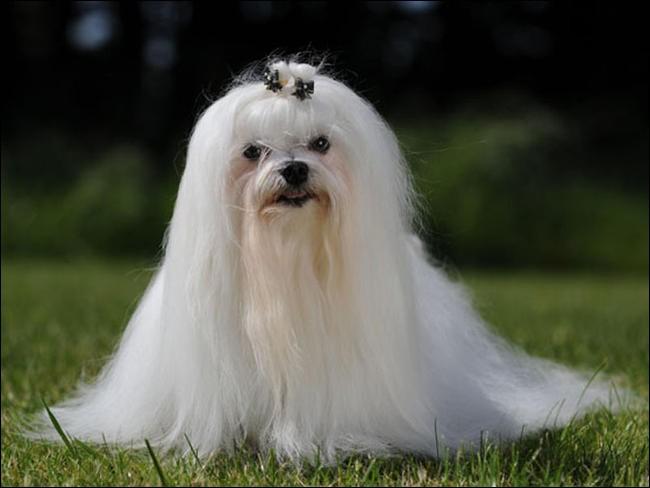 Quel est le nom de cette race de chien maltais ?