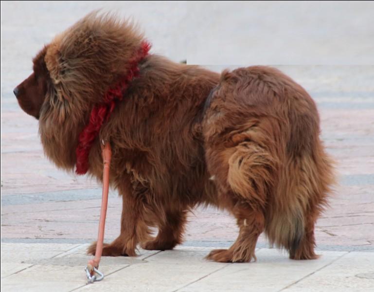 Quel est le nom de cette race de chien tibétain ?