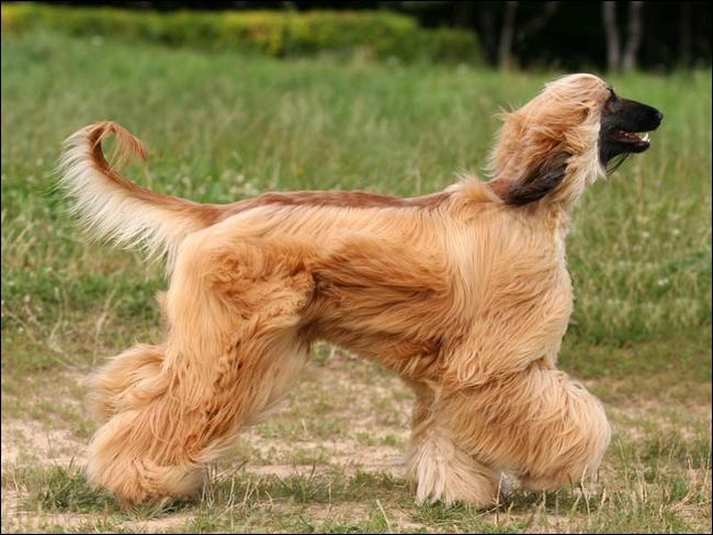 Quel est le nom de cette race de chien afghan ?