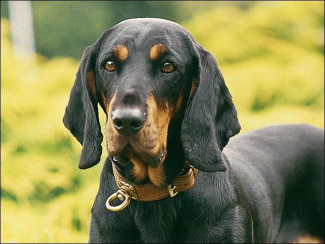 Quel est le nom de cette race de chien autrichien ?