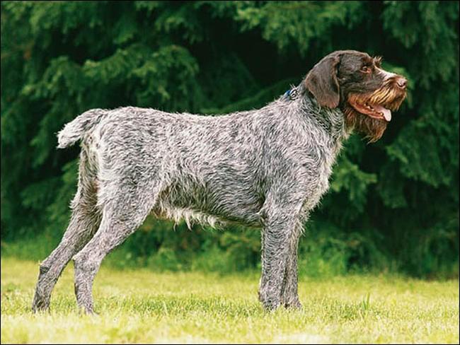 Quel est le nom de cette race de chien tchèque ?