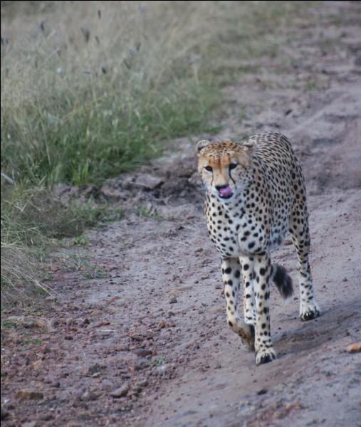 Sur une courte distance, le guépard est l'animal le plus rapide au monde !