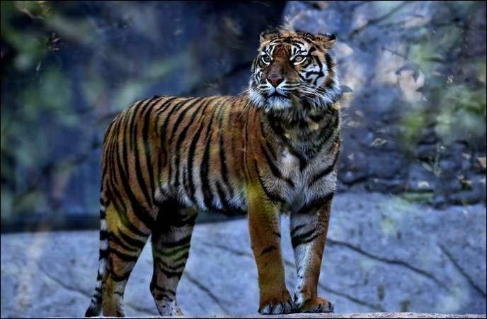 Dans quel continent habite le tigre ?