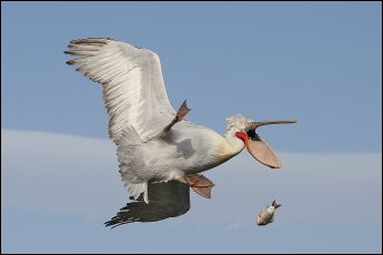 Nicolas de Vault a saisi cette scène de la vie quotidienne chez la ''Kenya Airway Creatures'' dans la catégorie aérienne, qu'il a gagnée auComedy Wildlife. Il s'est fait le porte-parole du malchanceux en appelant sa photo : ''Damn''.Quel est cet oiseau qui a échappé sa proie ?