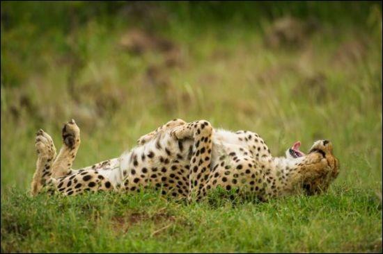 Quel moment de détente, on se fait un petit massage en passant . Le photographe Jeff Derx, basé à Londres, a beaucoup observé ces superbes félins au cours de voyages dans les savanes du Botswana et du Kenya : il a avoué que comme eux, il s'y sent à la maison.Pouvez-vous nommer ce superbe animal sur lequel il a fait son focus ?