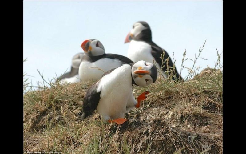 Cette photo s'est mérité le ''Comedy Wildlife Photo Awards'' pour l'année 2016. Il faut avouer que la physionomie particulière de cet oiseau marin, en fait un candidat idéal pour les calendriers et les affiches. Nommez l'oiseau à l'allure sympathique qui, en 1992, est devenu l'emblème aviaire officiel de la province de Terre-Neuve-et-Labrador ?