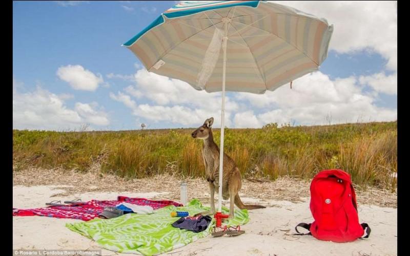 Celui-ci a décidé de faire un saut à la plage : il a mis en poche à peu près tout ce dont il pensait avoir besoin. Aussi la photo est-elle intitulée : ''j'espère que je n'ai rien oublié''. On la retrouve dans le ''Comedy Wildlife Photo Awards'' de 2016.Nommez ce marsupial.