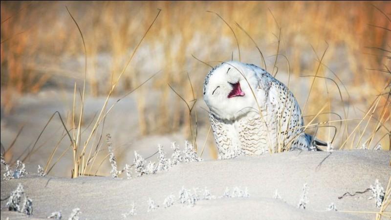 Vicki Jauron s'est mérité le ''Comedy Wildlife Photo Award'' avec cette photo de cet oiseau qui est bien hilarant avec son attitude ''Holé ! Oups !'' Peut-on ne pas penser qu'il vit vraiment un bon moment au milieu de son hiver. Oiseau emblématique du Québec, c'est un...