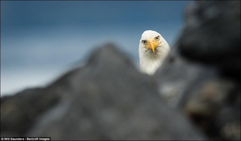 Il est grand notre oiseau : ses ailes atteignent plus de 2 m. Il construit le plus gros nid d'oiseau en Amérique du Nord. On les qualifie d'oiseaux sérieux parce qu'ils ne manifestent pas une humeur enjouée : celui-ci est curieux.Quel le plus gros oiseau de proie du Canada, qu'on voit avec des plumes blanches sur la tête et la queue ainsi qu'avec le bec, les yeux et pattes jaunes ?