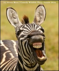 """Les ''Comedy Wildlife Photo Awards'' se sont affiliés à la mission de la ''Born Free Foundation'', qui préserve la vie animale à l'état naturel. """"Nous savons que les gens parleront de la préservation des espèces dans leur bureau ou chez eux de manière décontractée grâce aux photographies que nous présenterons"""", a ajouté l'un des fondateurs (laverdadnoticias.com).Nommez l'animal qui semble rire ?"""
