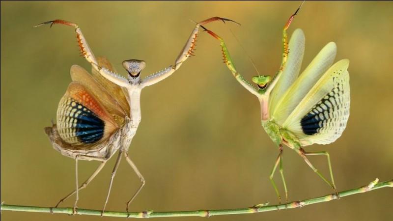 Hasan Bagler a gagné le ''Comedy Wildlife Photo Awards'' 2019 avec ce cliché : faut avouer que l'on a droit à tout un spectacle. Trouvez le nom de l'espèce de ces deux insectes que l'on qualifie souvent de ''tigres de l'herbe'' avec leurs yeux protubérants et très écartés puis surtout, leurs mœurs lors de l'accouplement.