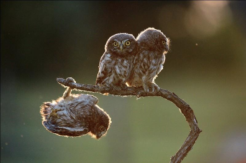 Tibor Kercz a capté une série de photos ''The Rovingness'' de la cascade de cet oiseau distrait qui perd pied sur sa branche. Mine de rien, il ne veut pas perdre face ''... and tries to play it cool in front of his chums'' sur cette photo Rovingness 4 (vagabondage).De quelle espèce est cet oiseau ?